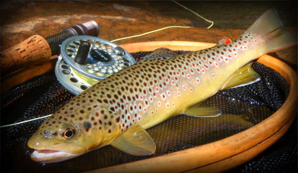 colorful brown trout